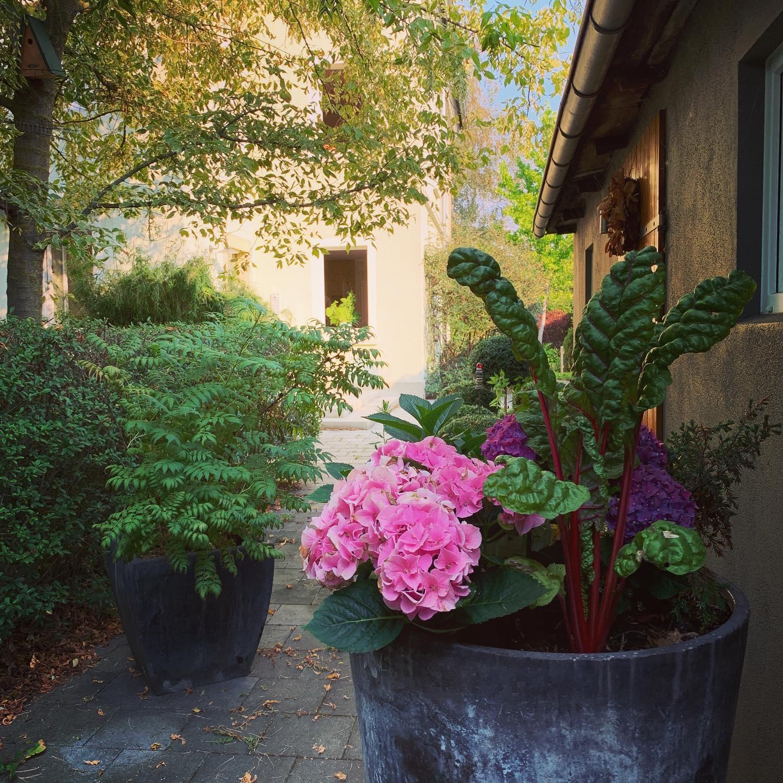 Morning. #earlybird #hydrangea #redchard #hubbiesgarden